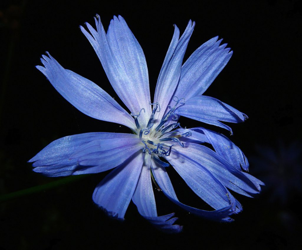 Chicory Root is a good source of Inulin